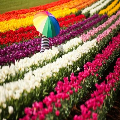 6 Hari Melbourne - Sydney - Tesselaar Tulip Festival